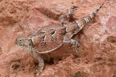 Southern desert horned lizard (Phrynosoma platyrhinos calidiarum)  photos