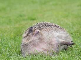 European Hedgehog Erinaceus europaeus scenting the air at rescue centre in garden Norfolk
