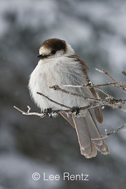 Gray Jay (Perisoreus canadensis) perched on a branch during a snowstorm on Hurricane Ridge, Olympic National Park, Olympic Peninsula, Washington, USA, March, 2009_WA_8110