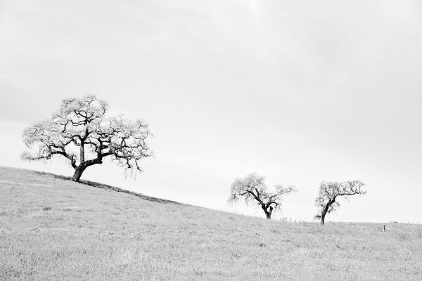 THREE OAKS NAPA VALLEY CALIFORNIA BLACK AND WHITE