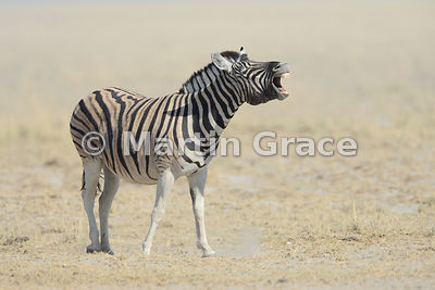 Plains Zebra (Equus burchellii) braying, Etosha National Park, Namibia