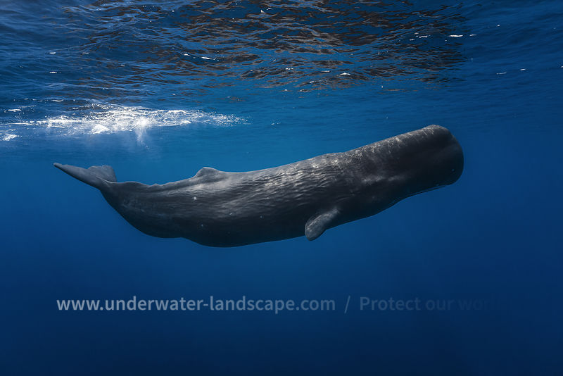 Sperm whale underwater photographer