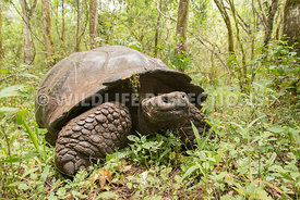 galapagos_tortoise_forest-67