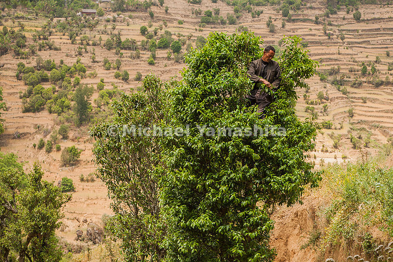 Tea trees grow tall and wild in Yunnan Province. Here a fearless picker balances in the branches of a 1,000-year-old specimen. The rule of thumb is: The taller the tree, the higher the price of the leaves.