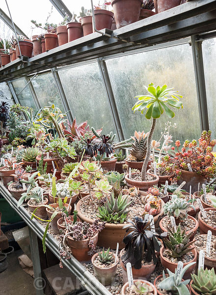 Greenhouse full of succulents and cacti, in the corner of the Paved Garden. York Gate Garden, Adel, Leeds, Yorkshire