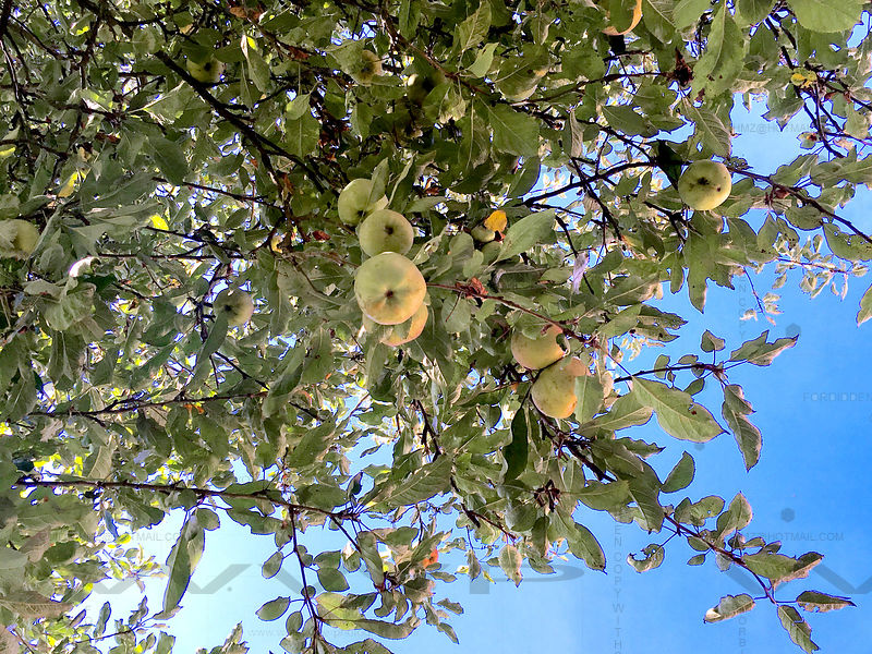 Apples-on-tree-010