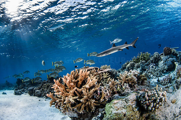 reef ambiance with whitetip shark