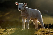Texel lambs, backlit by spring sunset. Yorkshire, UK.