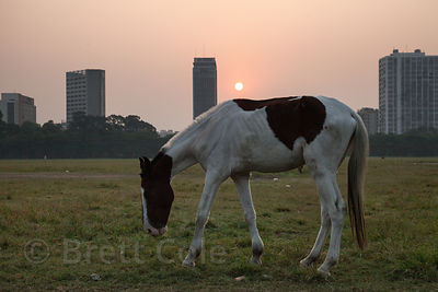 Sunrise over Kolkata, India, as a young horse grazes on the Maidan (Central Park).