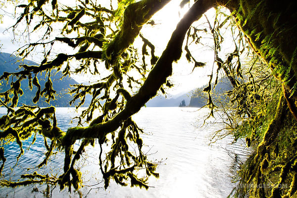 MOSS AND FERN COVERED TREES LAKE CRESCENT OLYMPIC NATIONAL PARK WASHINGTON