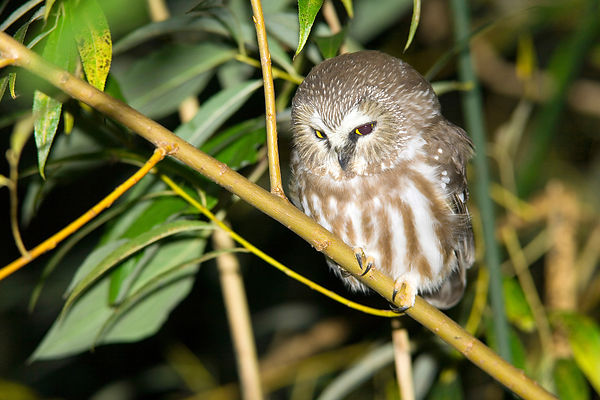 Northern Saw-whet Owls photos