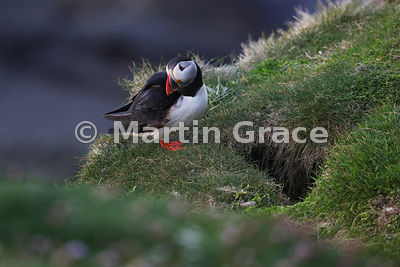 An Atlantic Puffin (Fratercula arctica) basks in evening sunlight outside its nest burrow on the cliffs of Sumburgh Head (RSPB), Mainland South, Shetland