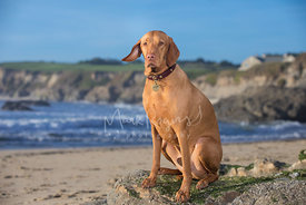Red Vizsla with Serious Expression Sitting on Rock at Beach with one ear raised