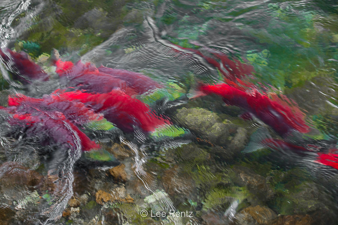 Sockeye Salmon Surging Upstream along Adams River