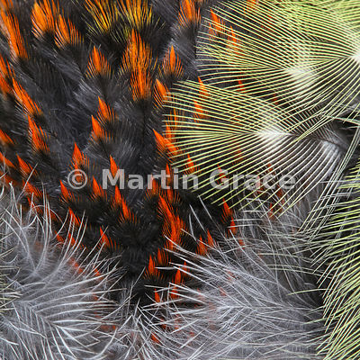 Fan The Flames - shortlisted for Attention to Detail category of Bird Photographer of the Year 2016