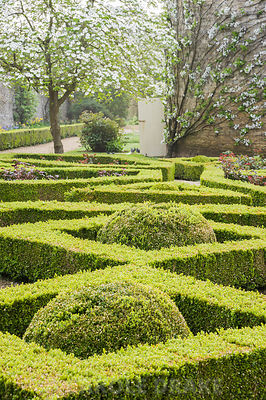 Box parterre in the Pigeon House Garden with Cornus nuttallii flowering beyond and trained fruit trees on the curving pigeon house wall. Rousham House, Bicester, Oxon, UK