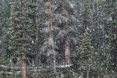 Snowfall in wild subalpine forest near the Bow Glacier, Banff NP, Canadian Rockies.