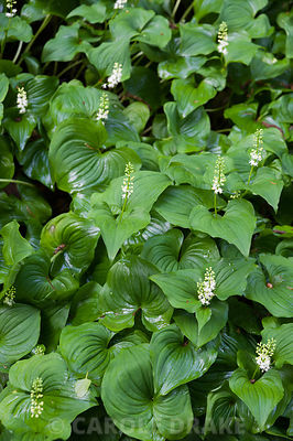 Maianthemum bifolium. Windy Hall, Windermere, Cumbria, UK