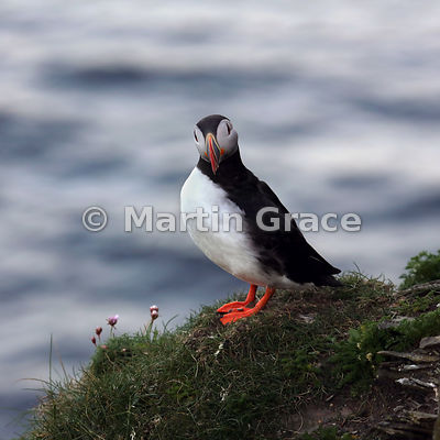 Atlantic Puffin (Fratercula arctica) at dusk, Sumburgh Head (RSPB), Mainland South, Shetland: one Puffin, five poses!