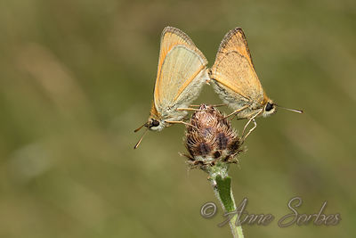 Small Skipper (Thymelicus sylvestris) photos
