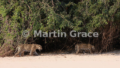 Male Jaguar (Panthera onca) 'Hero' (left) trails 'Hunter' back up the beach, Three Brothers River, Northern Pantanal, Mato Grosso, Brazil. Image 9 of 62; elapsed time 10mins