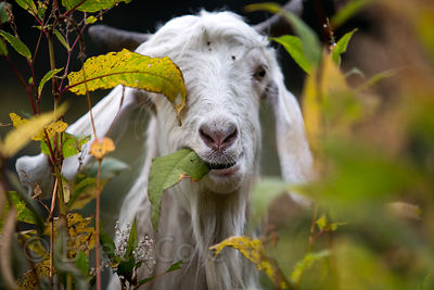 A goat grazes in forest near Kothi, Manali, India