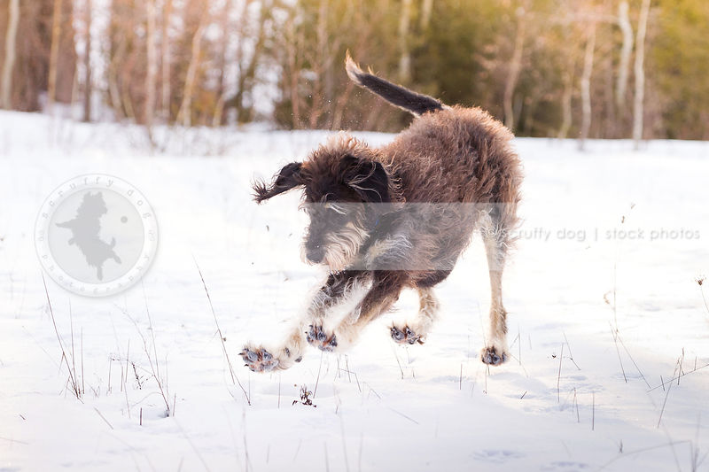 humorous image of scruffy dog pouncing in snowy field