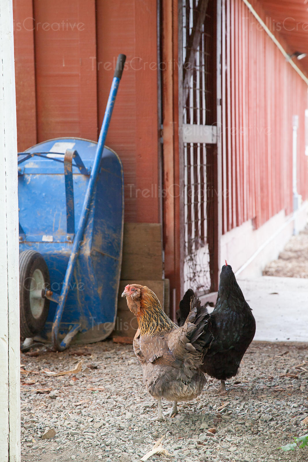 Two chickens with a blue whlle barrow outside a barn