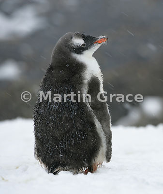 Immature Gentoo Penguin (Pygoscelis papua) in falling snow, Petermann Island, Antarctic Peninsula