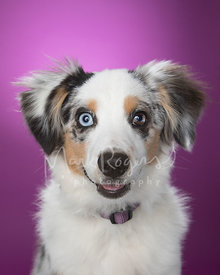 Smiling Miniature Australian Shepherd Puppy Against Purple Studio Background