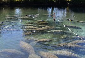Snorkeling with the Manatees at Three Sisters Spring