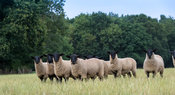 Flock of lambs newly weaned, sired by a suffolk ram. Warwickshire, UK.