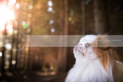 headshot of japanese chin dog in forest with sunflare