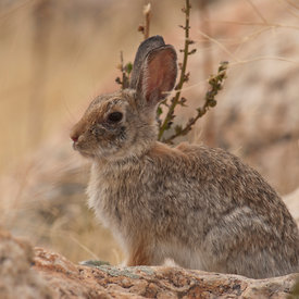 Desert Cottontail wildlife photos