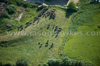 Aerial view of cattle in field