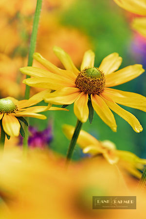 Black-eyed susan (rudbeckia hirta)  - Europe, Germany, Bavaria, Upper Bavaria, Munich - digital
