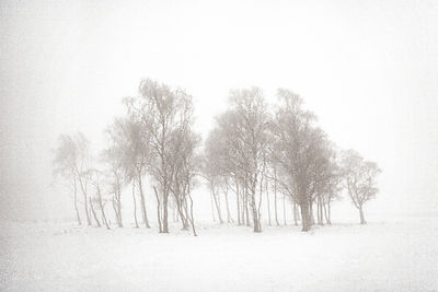 Birch trees in winter, Gateshead