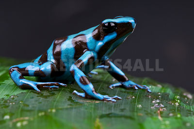 "blue and black arrow frog / Dendrobates auratus ""Santa Maria"" photos"