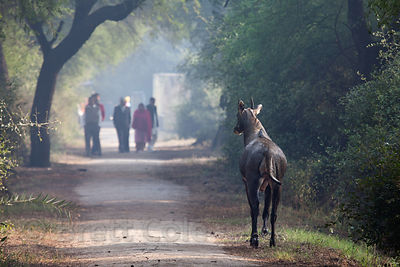 Nilgai antelope on the trail in Keoladeo National Park, Bharatpur, India