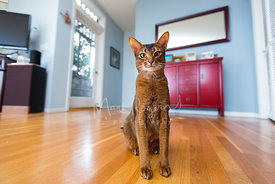 Abyssinian cat sitting on wooden floor