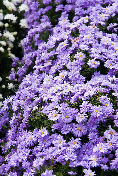 Aster novi-belgii 'Lady in Blue'. Waterperry Gardens, Wheatley, Oxfordshire, UK