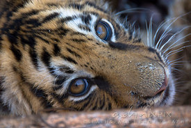 Close-up of a young Bengal tiger, Panthera tigris tigris