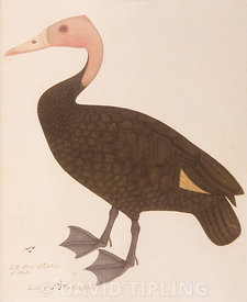 Pink-headed Duck Rhodonessa caryophyllacea  Was a large diving duck that was once found in parts of the Gangetic plains of India, Bangladesh and in the riverine swamps of Myanmar but feared extinct since the 1950s Painting by Bhawani Das, of a living specimen in the collection of Lady Impey, circa 1777.
