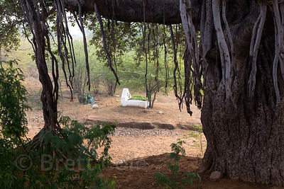 Muslim grave site near a massive ancient fig tree, Killa village, Rajasthan, India
