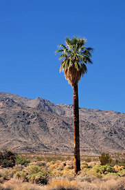 Palmier Parc National de Joshua Tree Californie USA 10/12