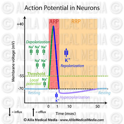 Action potential in neurons (with refractory periods)