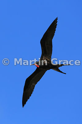 Male Great Frigatebird (Fregata minor ridgwayi) in flight with his red gular pouch deflated, Darwin Beach, Genovesa, Galapagos Islands