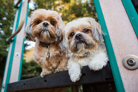 Two small shih tzu friends next to each other on playset