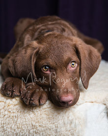 Brown retriever puppy lying down with paws showing