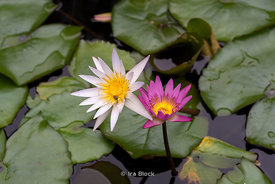 Flowers in a pond in Taipei, Taiwan